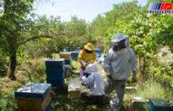 قاچاق ملکه تهدیدی برای زنبورداری