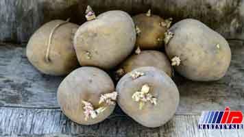 ماجرای «سیبزمینیهای سرطانزا» در کرمانشاه چیست؟