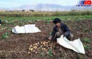 پیدا و پنهان سیب زمینی و پیاز تولیدی کرمانشاه از سوی مسئولان