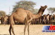 کشف شترهای قاچاق در داراب