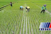 ممنوعیت کشت برنج خارج از استانهای گیلان و مازندران