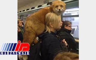 متروسواری دختر روس با روباه خانگیاش همه را شوکه کرد