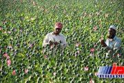 علمای ننگرهار افغانستان کشت و مصرف مواد مخدر را حرام اعلام کردند