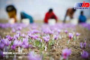 سنگاندازی مسئولان برای توسعه کشت طلای سرخ در گلستان