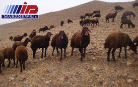 مهار بيش از ۱۰۰ راس احشام در نوار مرزي استان اردبيل