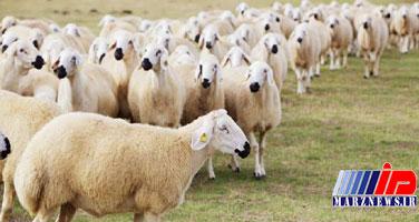 واردات هفتهای ۵۰ هزار راس گوسفند زنده/ سیگنال گرانی گوشت از چوبدارهای مناطق مرزی/ آیا با واردات دام زنده، صفهای شلوغ خرید گوشت، خلوت خواهد شد؟