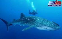 شکارچیان گونه های ارزشمند کوسه ماهی، در دام دریابانی کیش