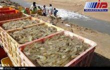 بوشهر رتبه نخست تولید میگوی پرورشی کشور را کسب کرد