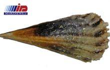گونه ای صدف کمیاب در نایبند بوشهر دیده شد