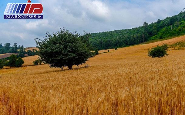 پیش بینی افزایش ۷۰ درصدی تولید گندم در مازندران