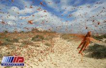 هجوم ملخ های صحرایی به مراتع و طبیعت چابهار