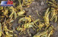 مبارزه با ملخ صحرایی در جنوب کشور به ۲۰۵ هزارهکتار افزایش یافت