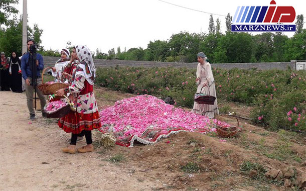 برداشت گل محمدی، خداقلی بجنورد را عطرآگین کرد