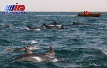 خلیج گواتر چابهار، جشنواره همیشگی موج سواری دلفین ها