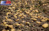 قیمت سیب زمینی در گرداب سیل و صادرات
