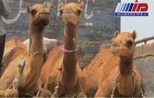 نخستین محموله شتر شیری وارد سیستان و بلوچستان شد
