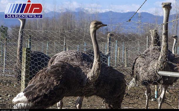 صادرات یک هزار و ۲۵۰ قطعه جوجه شترمرغ از گیلان