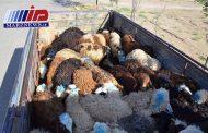 ۹۵ راس دام قاچاق در استان کرمانشاه کشف شد