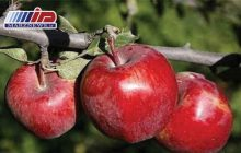سیبی که داستان شد!